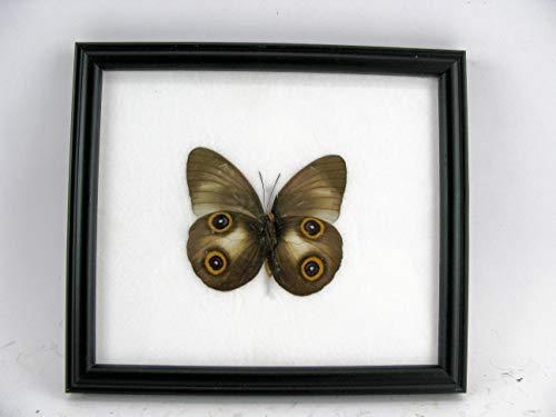 asiahouse24 Lady Diana Cadre Photo en Bois avec Papillons géants et Exotiques