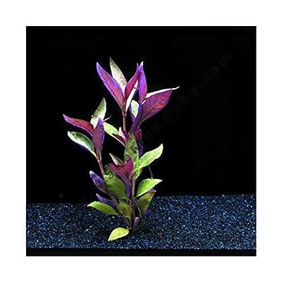 Alternanthera lilacina-submerged - Aquarium Plants