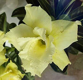 VISA STORE 20 Samen Adenium Obesum Wüste Roses Rare www Doppel-Gelb-Dream-us