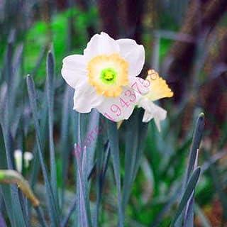 AGROBITS semillas 100pcs narciso (no bulbos de narcisos), semillas de flor del narciso plantas acuáticas, flor perenne para las mini plantas de jardín: 12