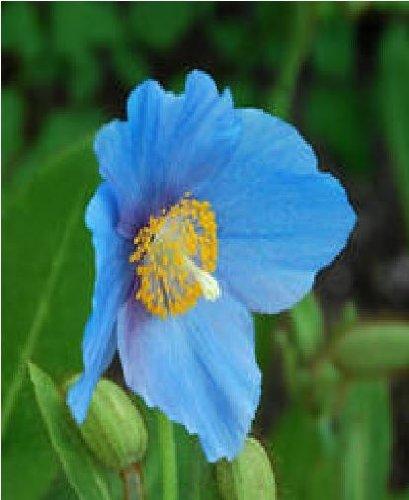 Il vous suffit de graines de fleurs???Pavot Bleu de Baileyi???50?graines