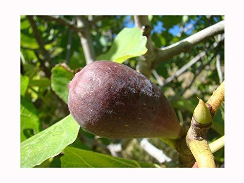 FICUS CARICA 'Portogallo' marrone, varietà fruttata a forma di goccia, tollerante molto freddo, pianta architettonica e frutta gustosa coltivano la vostra frutta mediterranea, 10 cm di altezza.