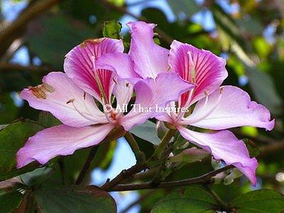 100 frais GRAINES arbre orchidée