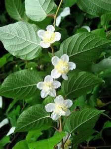 15 Samen silberne Rebe (Actinidia polygama) Katze Pflanze