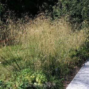 Waldschmiele Schottland - Deschampsia cespitosa