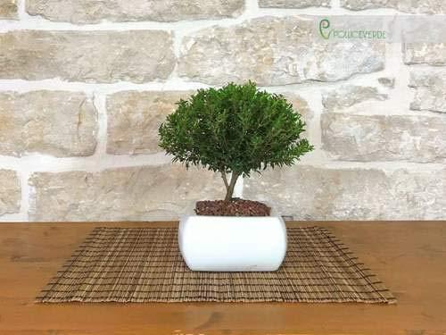 Bonsai di Mirto in vaso quadro bianco