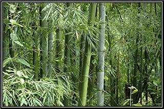 10 Seeds - Bambusa bambos - Indian Thorny Bamboo