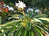 PLAT FIRM Pachypodium lamerei Rare ucculent Cacti Seed 20 Seed -