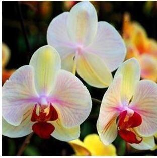 10pcs/lot papillon graines d'orchidées, fleurs d'intérieur bonsaï quatre saisons, Phalaenopsis Orchidées jardin maison 6