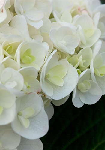 2 Gal - Endless Summer Blushing Bride Hydrangea - Deciduous Blooming Shrub - White Mophead Blooms Blush to Either Pink or Blue