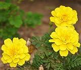 astonish i semi confezione: 50 semi di calendula francesi giallo tagetes patula ornamentali da giardino fiori