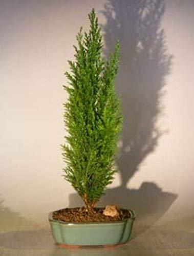 UEYR Italian Cypress Evergreen Bonsai - große Mittelmeer-Zypresse