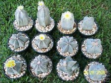 VISA STORE Astrophytum myriostigma Mix @ J @ exotiques globulaire cactus rares Seed 50 Seeds