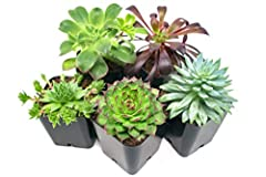 HAND SELECTED: Every pack of succulents we send is hand-picked. You will receive a unique collection of species that are FULLY ROOTED IN 2 INCH POTS, which will be similar to the product photos (see photo 2 for scale). Note that we rotate our nursery...