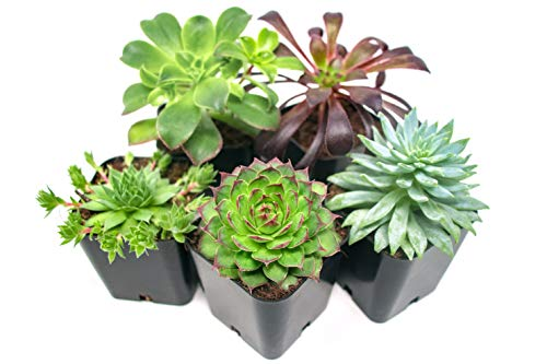 Succulent Plants (5 Pack), Fully Rooted in Planter Pots with Soil - Real Live...