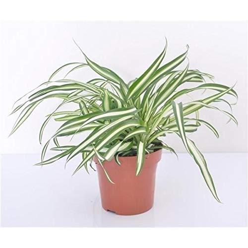 Grünlilie 25 cm Chlorophytum Atlantic Luftreinigend Zimmerpflanze