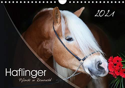 Haflinger-Pferde in Reinzucht (Wandkalender 2021 DIN A4 quer)