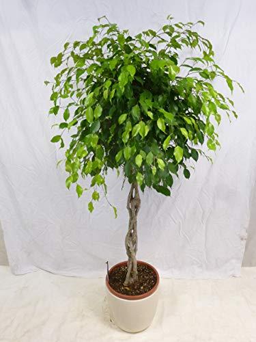 """[Palmenlager] - XXL Ficus benjamini\""""Exotica\"""" 170/180 cm - Hochstamm geflochten - Birkenfeige/Zimmerpflanze"""