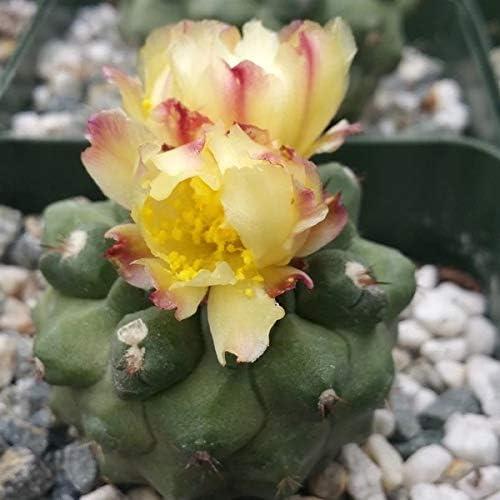 Copiapoa esmeraldana Cactus Cheap mail order sales Plant - trend rank 1 Pot 3.5 inch