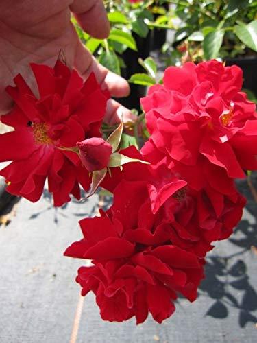 Bodendeckerrose Mainaufeuer® - Rosa Mainaufeuer® - Kleinstrauchrose - feuerrot - Kordes-Rose - Preis nach Stückzahl Einzelpreis
