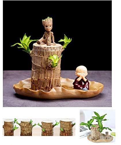 Brasilwood Hydrokultur-Pflanzen Groot Lucky Wood Topf, Desktop Green Pflanzen, Luftreinigende Pflanzen für Innenbereich, gratis Geschenk (Blumentopf, Groot, kleiner Mönch)