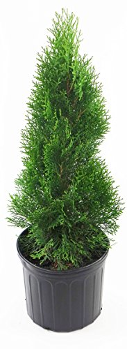 Live Plant, Outdoor Evergreen Tree, Tall Thuja Occidentalis, Emerald Green, Nursery Grown, Fully Potted Arborvitae & Ready to Plant Trees from Green Promise Farms