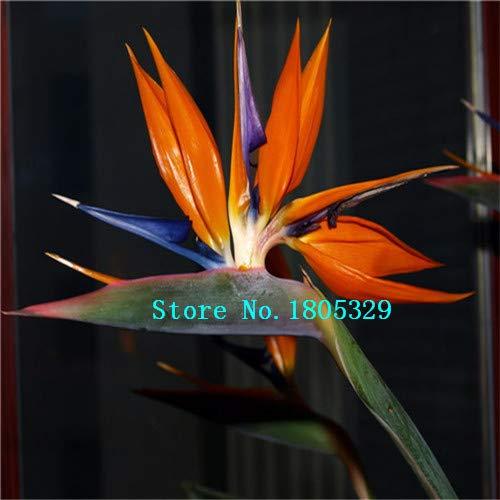 AGROBITS GGG 100pcs / pots pack. Flower jardinières Toutes sortes de couleurs Strelitzia graines de semences reginae paradis des oiseaux hybride Bonsai Graines de fleurs: de haute qualité