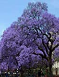 1' Tall Blue Jacaranda Tree, Potted Plant, Beautiful Flowering Plant, Root Start, Rhizome, Bulb, Simply Beautiful Flowering Perennial, What is Shown in The Picture is a Mature Tree in Full Bloom