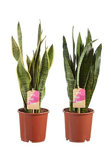 Kamerplanten van Botanicly – 2 × Vrouwentongen – Hoogte: 50 cm – Sansevieria Classic duo