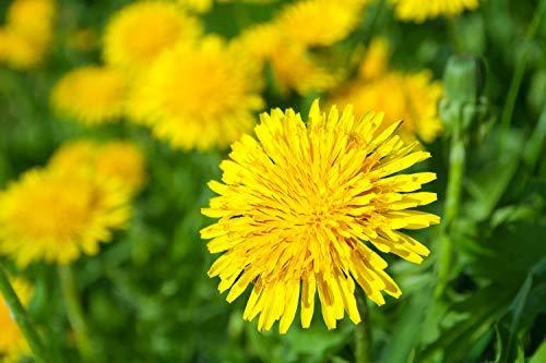 SAFLAX - Ecológico - Diente de león - 400 semillas - Taraxacum officinale