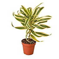 """HOUSEPLANTSHOP   Dracaena 'Song of India' - 4"""" Pot   Live Indoor Plant   Free Care Guide"""