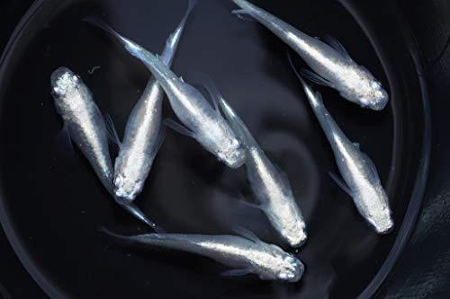 【メダカ永遠~トワ~】 白幹之ヒカリ体型めだかの稚魚10匹セット