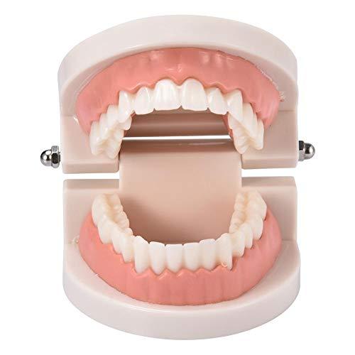 Standard-Zahnmodell, Studienmaterial für Kinder, zahnärztliches Demonstrationszahnmodell, Standard-Typodont-Demonstrationszahnmodell für Erwachsene