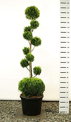 Scheinzypresse Kugel-Formschnitt PON-PON- Chamaecyparis lawsoniana 'Ivonne' - 200-225cm - 35 Ltr. - MULTIKUGEL+ KUGEL - SPEDITIONSVERSAND