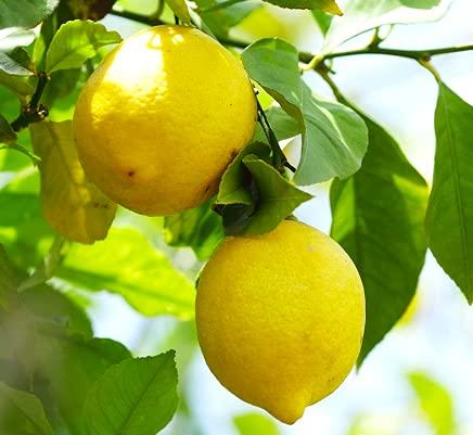愛媛 中宮農園 100%無農薬レモン 約2kg