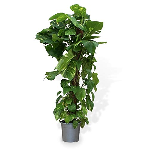 Verdecora - Potho - Maceta 3 litros (Altura 70-80cm)