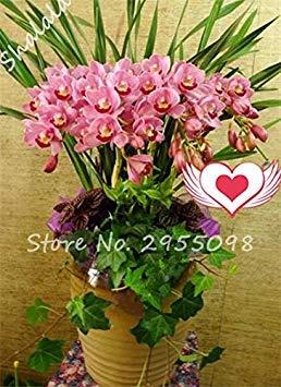 Vistaric Una bolsa = 200pcs Cymbidium Orchid, Multi Color Cymbidium Orchid Plant, Semillas de flores Bonsai, Crecimiento natural, Plantas para el huerto 21