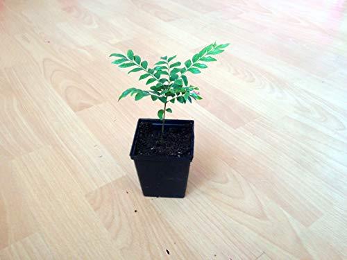 Der Currybaum (Bergera koenigii L.) Murraya koenigii 1 die Pflanze