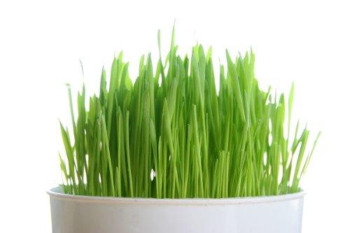 Todd's Seeds, Wheatgrass Seeds, One Pound, Cat Grass Seeds, Hard Red Wheat
