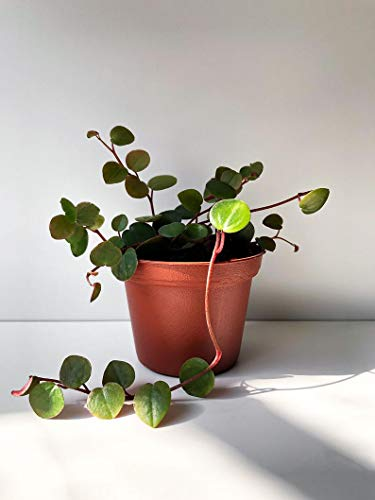 1 Peperomia Ruby Cascade, Trailing Peperomia House Plant Live Plant