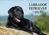 Labrador Retriever 2021 (Wandkalender 2021 DIN A3 quer)