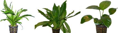 3 Töpfe barschfeste Pflanzen, Wasserpflanzen, Aquariumpflanzen