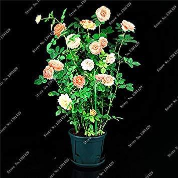 VISTARIC Rouge: 200pcs Bonsai Mixte Couleur Petunia Graines Belle Graines de fleurs Jardin Plante Pétunia Graine Balcon cadeau rare Décoration rouge