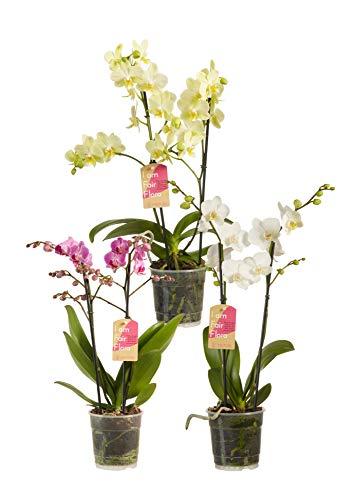 Orchideen – 3 × Schmetterlingsorchidee weiß, gelb & rot – Höhe: 50 cm, 2 Triebe, weiße Blüten