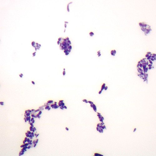 Budding Yeast, w.m. Microscope Slide