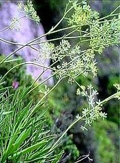 Bupleurum Herbal Capsules