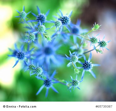 Blaue Edeldistel 10 Samen