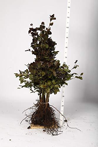 Blutbuche Wurzelware 80-100 cm 25...