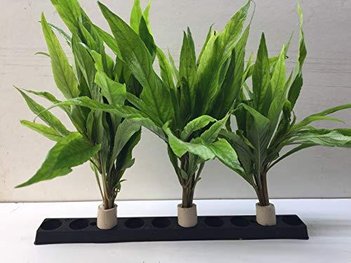 5 Bund Hygrophila salicifolia marmorierte Kirschblatt wasserpflanzen.