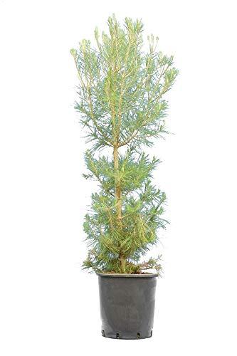 Aleppo-Kiefer - Pinus halepensis - Gesamthöhe 200+ cm - Topf Ø 28 cm - Speditionsversand